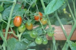 Sweet 100 Tomatoes