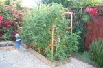 7 foot tall tomato vines