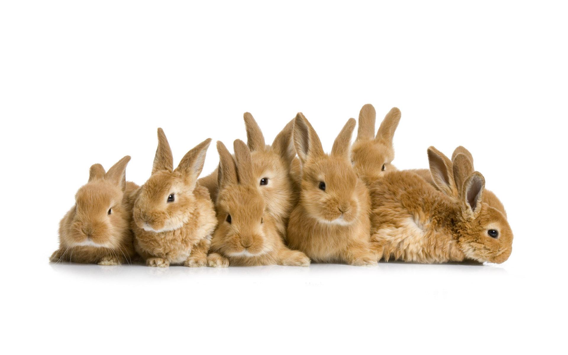 lot of rabbits